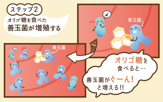 ステップ2:オリゴ糖を食べた善玉菌が増殖する